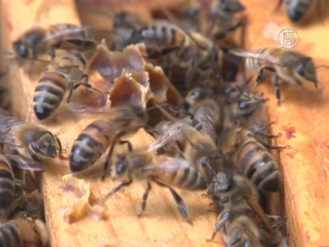 Франция защитит своих пчёл