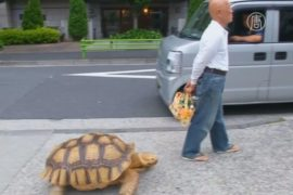 На улицах Токио выгуливают огромную черепаху
