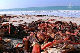 Калифорния: ковры из мёртвых красных крабов