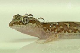 Учёные копируют водоотталкивающие свойства геккона