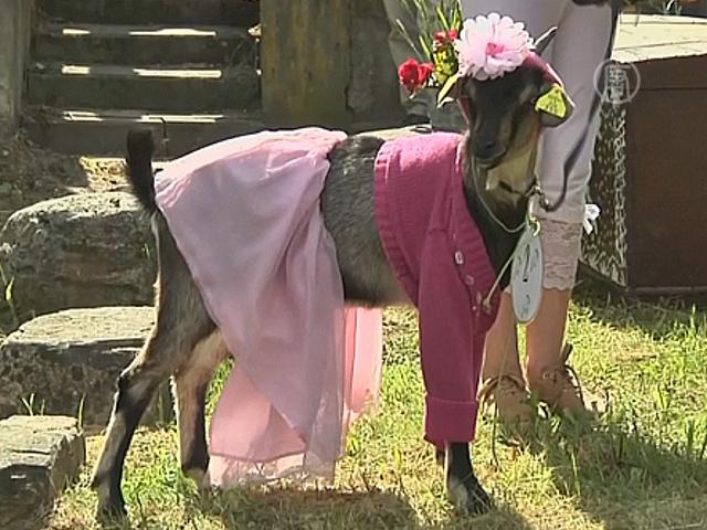 Самую гламурную козу выбрали в Литве