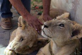 В жилом доме в секторе Газа жили львята