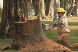 В Лос-Анджелесе спиливают деревья из-за засухи