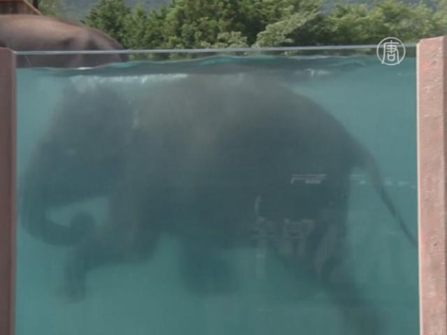Посмотреть на плавающих слонов можно в Японии