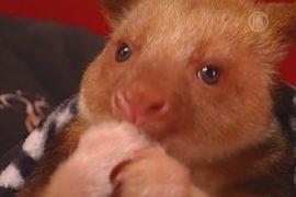 Самка валлаби стала приёмной мамой для кенгуру