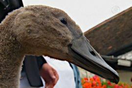 На Темзе началась ежегодная перепись лебедей