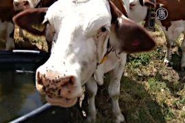 Швейцарских коров спасают от жары военные