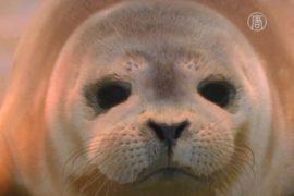 Бельгийский морской парк спас двух тюленят