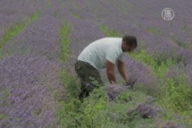 В Болгарии собирают лаванду