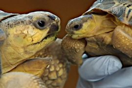 Редких лучистых черепах спасли от контрабандистов