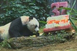 37-летняя панда побила рекорд по долгожительству