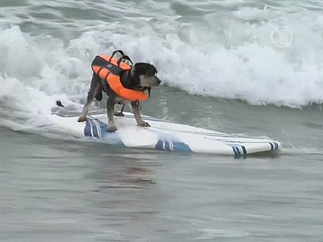 В Калифорнии соревнуются собаки-сёрферы