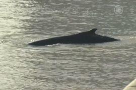 В бухту Буэнос-Айреса заплыл кит