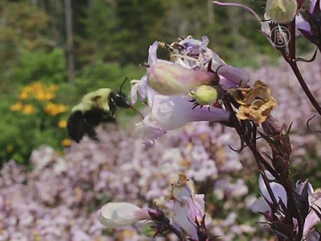 В США набирают волонтёров для «переписи» пчёл