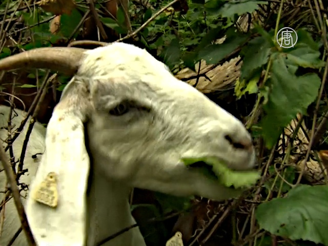 Козы помогают избавиться от сорняков в Вашингтоне