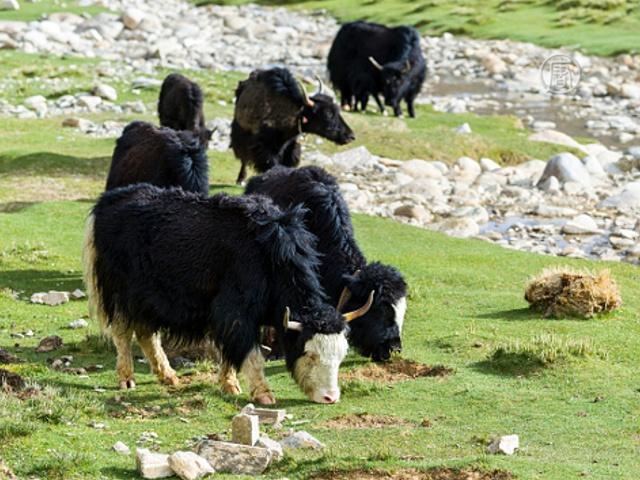 Кыргызы всё чаще предпочитают яков коровам