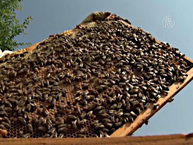 Почему исчезают пчёлы: ответ ищут в улье