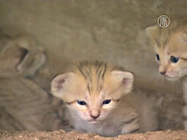 Израиль: малышей редкой кошки представили публике