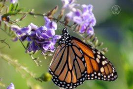 Бабочек-монархов в Мексике лишают мест зимовки
