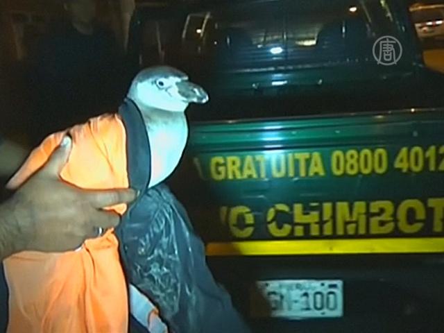 Полиция Перу «задержала» пингвина