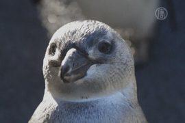 Учёные не могут решить, что угрожает пингвинам