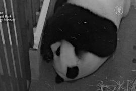 Новорожденный детёныш панды Мэй Сянь – мальчик