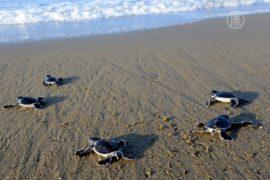 Зелёных черепах сохраняют на побережье Флориды