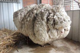 С одичавшего барана состригли 40 кг шерсти
