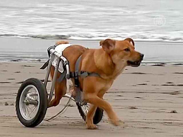 Собаки-инвалиды обретают вторую жизнь