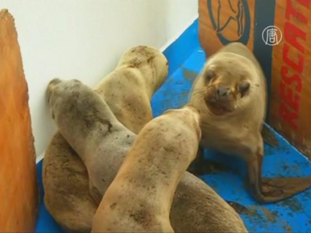 Морских львов вылечили и отпустили на волю в Перу