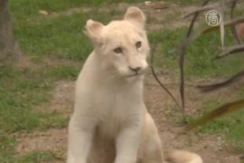 У бразильцев появился первый белый лев