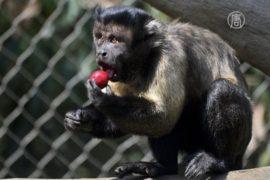 Тайцев пришлось спасать от назойливых обезьян