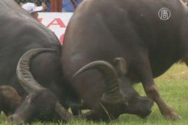 Во Вьетнаме проводят традиционный бой буйволов