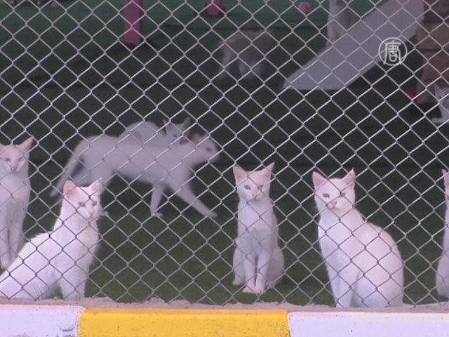 В Турции возрождают древнюю породу кошек