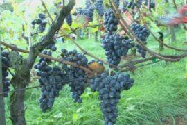 На винограднике Монмартра собирают урожай