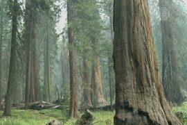 Засуха в Калифорнии угрожает гигантской секвойе