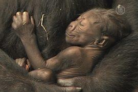 Иллинойс: детеныша гориллы показали публике