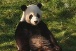 Помёт панды изучают ради дешёвого биотоплива
