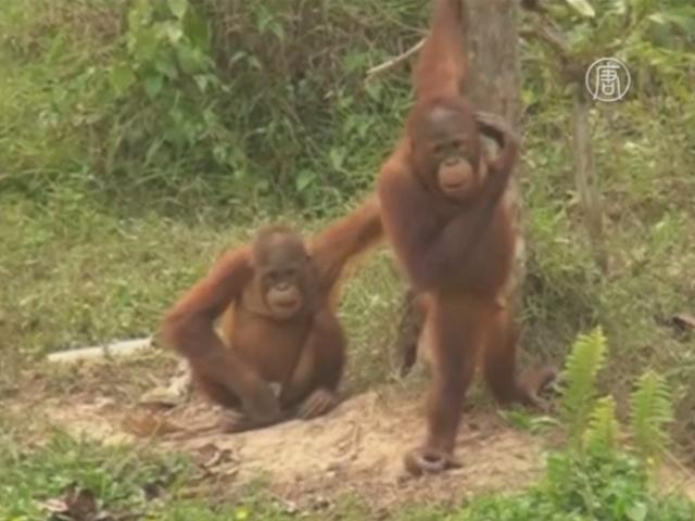 В Индонезии из-за пожаров эвакуируют орангутангов