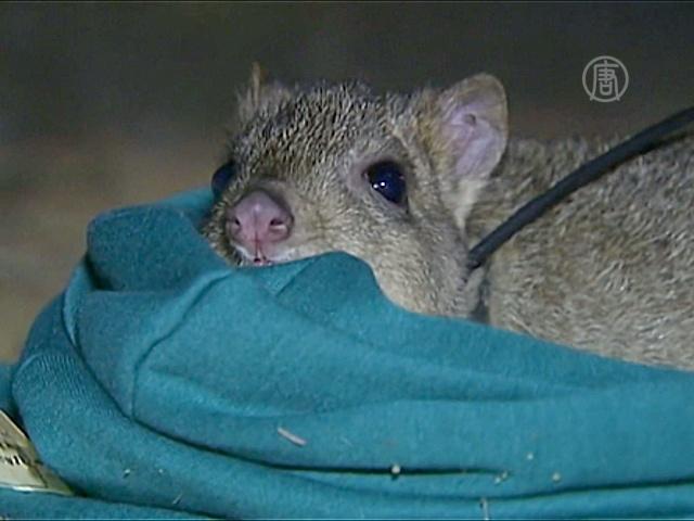 В Австралии спасают кенгуровых крыс