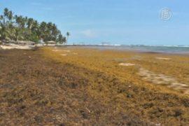 Водоросли выгнали туристов из Доминиканы