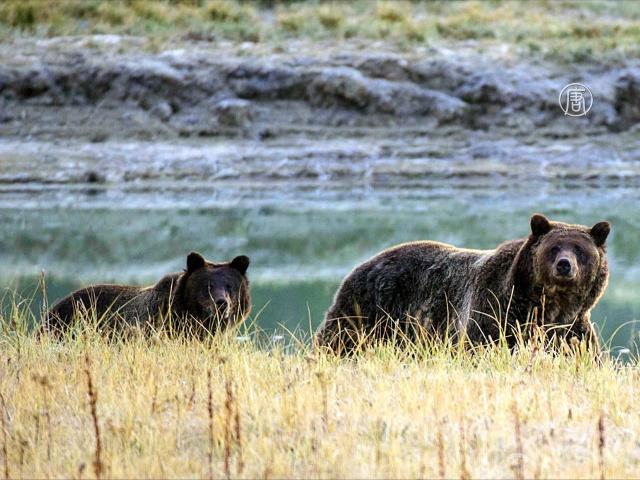 Охота на гризли вызывает острую дискуссию в Канаде