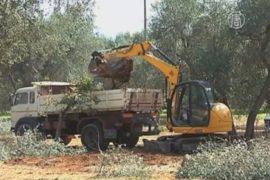 Вековую оливковую рощу вырубают из-за бактерии