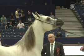 Шоу арабских лошадей проходит в Марокко