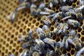 Пчелиные матки предпочитают местных трутней