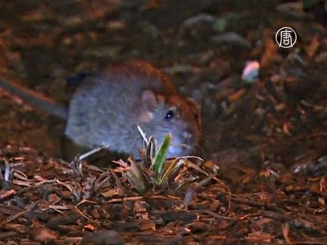 Крысы захватывают Нью-Йорк