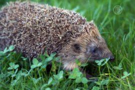Популяция британских ежей сокращается