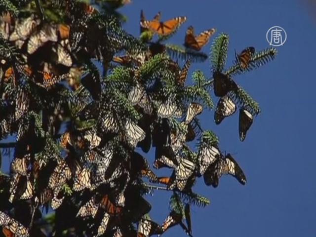 В Мексике сохраняют популяцию бабочек монархов