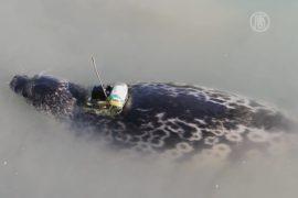Тюлени помогают изучать таяние ледников