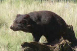 Тасманийских дьяволов спасают от вымирания
